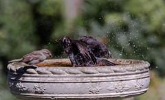 wait your turn. (Stu thatcher) Tags: bird uk water bath fast shutter speed birds wet splash britain england english worcester worcestershire