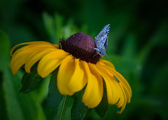 Morning Nectar (Wildphotography - Barry Rowan) Tags: animal butterfly charlotte clarkscreeknaturepreserve flowersplants insect mecklenburgcounty nature northcarolina summer wildlife