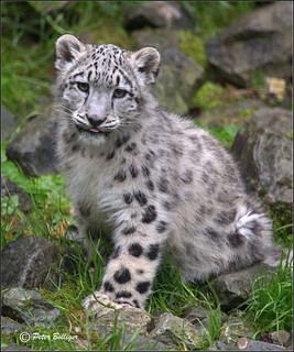 Snow leopard, half a year old