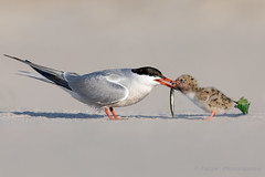 Common Terns (Photosequence) Tags: