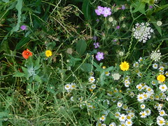 Nice mix of wildflowers at Pitteville Park Cheltenham 22-26 june 2017 (ecology_garden) Tags: ox eye daisy wild carrot corn cockle marigold