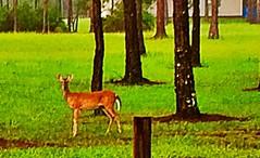 Good morning deer 😉 (tc298) Tags: gratitude appreciation feeding florida wildlife deer morning