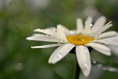 enough (joy.jordan) Tags: daisy flower raindrops texture bokeh nature backyard