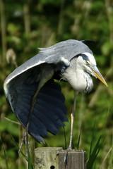 _DSC6736 - Grey Heron (steve R J) Tags: grey heron rye meads rspb reserve birds british