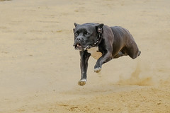 Race 0009 (Wolfgang von Vietinghoff) Tags: dog dogs hunde rennen dograce training hund wde