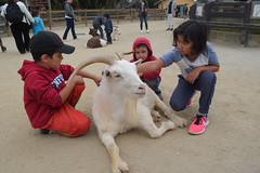 DSC_0104 (rlnv) Tags: california bayarea sanfrancisco sanfranciscozoo zoo nikond3300 1855mmf3556gvrii animal tomás walter caitlin goat