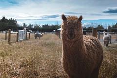 Alpaca (nyorm) Tags: alpaca newzealand portrait x100t fujifilm film x100 35mm headshot head animal furry cute farm 23mm