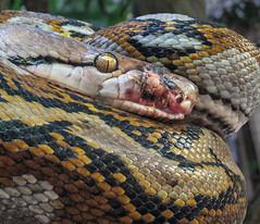 Injured Python (FotoGrazio) Tags: animals bohol philippines visayas waynegrazio waynesgrazio animal boa composition constrictor damage eyes face fotograzio injury largesnake nature python reptile scales scar serpent snake texture tropicalpython wildlife