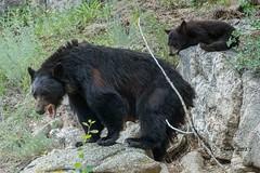 IMG_6795 black bear (starc283) Tags: bear blackbear canon canon7d colorado cib starc283 wildlife nature naturesfinest rockymountains rockymountainnationalforest