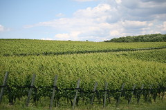 As Far as the Eye Can See (eyriel) Tags: landscape nature vine vines vineyard winery rows grapes