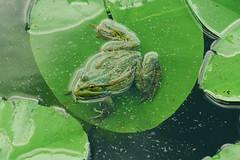 P1440606 (Sergei Spiridonov) Tags: frog manualfocusing jupiter37a13535