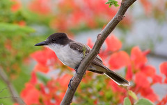 Loggerhead Kingbird _ Tyrannus caudifasciatus (Kremlken) Tags: westindies cuban endemics neotropical escambraymountains birds birding kingbirds