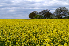 Sea of yellow. (pstone646) Tags: yellow nature flowers plants field trees kent flora sky clouds landscape crop