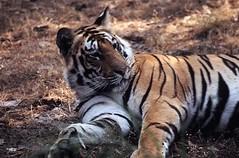 Bengal tiger in Bandavgarh NP in Madhya Pradesh India (inyathi) Tags: tiger pantheratigris bigcats bandavgarh madhyapradesh india cats asianwildlife tigers bengaltiger