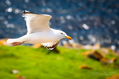 Land & Sea (micallrob) Tags: red sea blue land green gull birds bird seabird coast coastline ireland eire saltees wexford kilmorequay island colony
