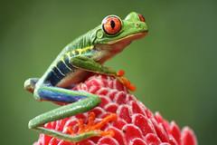 Costa Rica 2017- Frogs Heaven (nouailleric) Tags: costarica frogsheaven horquetas frog canon eos7d macro macrophotograhie nature rainette rainetteàyeuxrouge grenouille wildlife viesauvage voyage travel sigma 70300f456apodgmacro amphibian amphibien