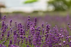 170707 La Maison de Lavande - St-Eustache   -0333 (Serge Léonard) Tags: lamaisondelavande villedesteustache lamaisonlavandrecultureetparfumerie parfumerie plantfarm