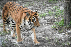 (Kelley&Kelley) Tags: florida lowryparkzoo zoo tiger wildlife nature nikon nikond7200 stripes specanimal