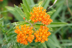 Kristen Martyn- Butterfly Weed, 20170630 (7) (KristenMartyn) Tags: flower nativeplants gardening garden indoorplants plants flora ontario outdoor tour tours wildflower wildflowers nativeplant butterflyweed milkweed asclepiastuberosa butterfly