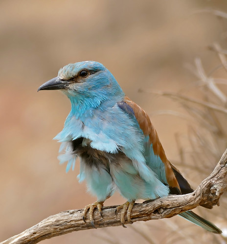 European Roller (Coracias garrulus) in the wind ...
