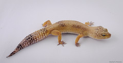 Captive Leopard Gecko (petechar) Tags: petechar charlesrpeterson animal captive reptilia squamata eublepharidae eublepharismacularius leopardgecko panasonicgh5 leica1260 led lighttent