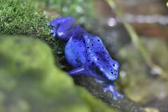 Blue Poison Frog (Bri_J) Tags: tropicalbutterflyhouse northanston southyorkshire uk nikon d7200 yorkshire blue frog