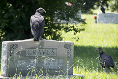 Vultures (shannon_blueswf) Tags: bird vulture wildlife wild grave graveyard nature naturephotography nikon nikind3300 buzzard summer july july2017 oneaday photooftheday animal birdsofprey