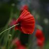 DSC_1361a (Fransois) Tags: pavots poppies jardin garden fleurs flowers macro bokeh granby qc québec vent windy