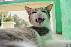 Miradas (Tato Avila) Tags: colombia prado tolima colores cálido naturaleza nikon gato cat bigotes hocico dientes orejas felinos animal