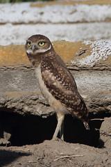 Burrowing owl (jlcummins - Washington State) Tags: owl bird burrowingowl adamscounty washingtonstate fauna