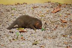 DSC_0080 (Capt_Bowman) Tags: zsl london zoo mongoose