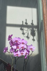 Piccadilly 2 13jul17 (richardbw9) Tags: london uk england city street urban mayfair piccadilly westminster streetshot streetphoto streetphotography flowers window ra royalacademy arts shadow shadowplay chandelier windowframe pink petals flower plant flora