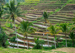 The terraced rice fields, Bali island, Jatiluwih, Indonesia (Eric Lafforgue) Tags: 3people adultsonly agricultural agriculture asia asian bali1961 balinese bedugul breathtaking countryside crops cultivated cultivation culture farming farmland fields green growing horizontal indonesia irrigation landscape menonly nature outdoors paddies palmtrees rice ricefields ricepaddies riceterraces rural scenery subak terracefarming terraced terraces terracing threepeople unescoworldheritagesite verdant water jatiluwih baliisland