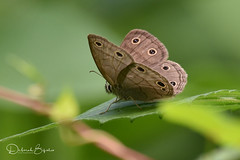 Little Wood Satyr  (Explored) (dbifulco) Tags: andover whittinghamwma butterfly littlewoodsatyr nature newjersey wildlife explored