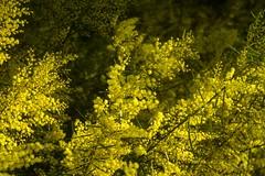 Acacia fimbriata (dustaway) Tags: flowers fabaceae mimosoideae acacia acaciafimbriata fringedwattle australianplants yellowflowers tamborinemountain sequeensland queensland australia nature natur