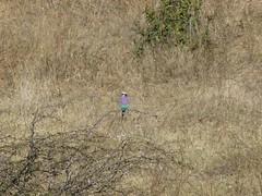 P1150909 Zimbabwe (15) (archaeologist_d) Tags: zimbabwe stanleylivingstonesafarilodge lilacbreastedroller africa southernafrica safari