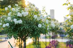 Bouquet (higeu) Tags: 日本 横浜 山下公園 花 薔薇 庭園 japan yokohama park garden flower rose
