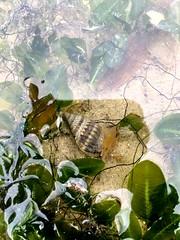 (Ravenblack7575) Tags: chekjawa intertidal shore seagrass shell