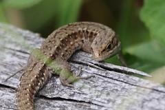 (Zatanen) Tags: zootocavivipara lisko ödla lizard commonlizard reptiles skogsödla sisilisko viviparous waldeidechse lézard lagarto lacerta