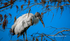 Fluffy Wood Stork (tclaud2002) Tags: bird wadingbird woodstork tree nature mothernature feathers wildlife animal pineglades naturalarea pinegladesnaturalarea jupiter florida usa outdoors greatoutdoors outside