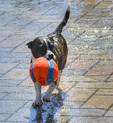 Fetch (swong95765) Tags: dog ball toy fetch water fun fullfillment mission purpose