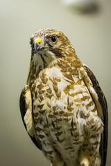 (marina~) Tags: halton conservation canon ontario milton mountsberg raptorcentre raptor hawk broadwingedhawk broadwinged thomas raptorencounter