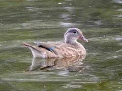 Mandarin duck (PhotoLoonie) Tags: mandarinduck duck wildlife nature