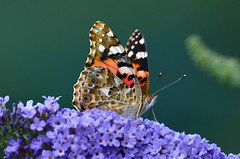 DSC_0637 (sylvette.T) Tags: papillon butterfly 2017 nature insecte vanessacardui paintedlady