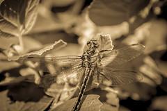 Can you see it ? (Omygodtom) Tags: design edit flora fog fleur macro elitebugs bug insect dragonfly texture tree nikon70300mmvrlens nikkor natural nature nikon outside dof d7100 digital diamond star