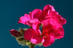 20170611_Jardins_Secrets_Vaulx_Fl (14 sur 23) (calace74) Tags: rhonealpes fleurs france jardin jardinssecrets macro