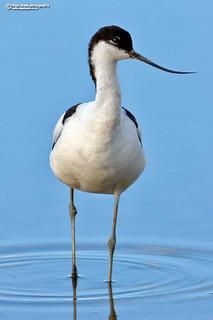 Pied Avocet Recurvirostra avosetta