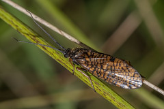 Hagenella clathrata (steb1) Tags: hagenellaclathrata windowwingedsedge caddis caddisfly trichoptera insect macro whixallmoss fennsandwhixallmoss