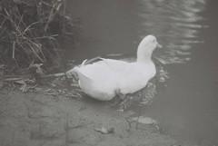 My White Duck Friend (goodfella2459) Tags: nikon f4 af nikkor 85mm f18d lens fomapan retropan 320 35mm blackandwhite film white duck bird animal water creek friend bowral southern highlands new south wales bwfp milf