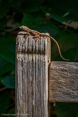 _DSC5894-Edit-Edit (dlange56) Tags: anolissagrei florida keywest keywestgardenclub salamander westmartellotower brownanole izard